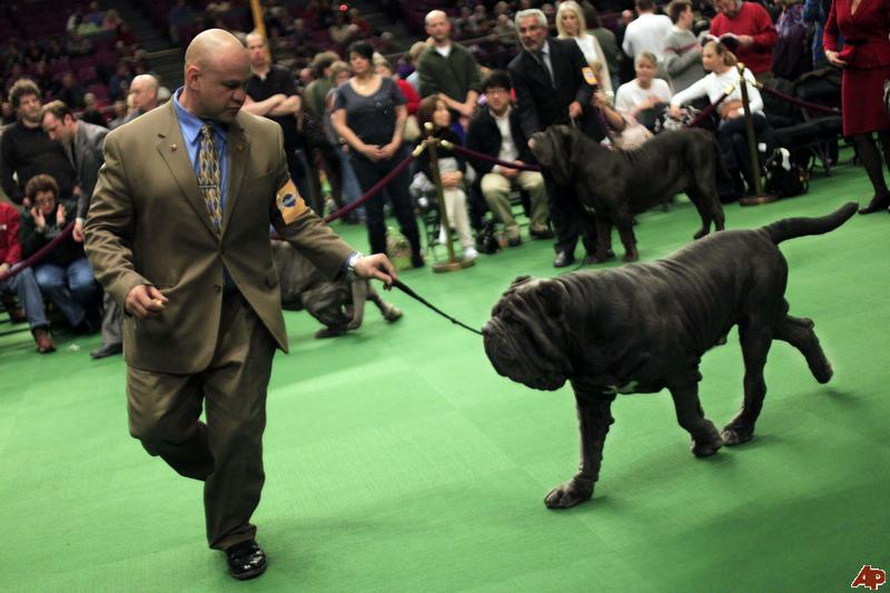 new york hosts westminster kennel club dog show gowanus lounge westminster dog show 800x533