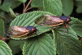 Cicadas coming back after a 17-year hiatus