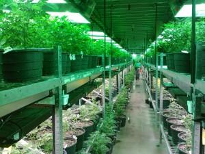 Legal marijuana cultivation in Colorado