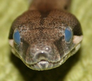 Boa Constrictor. Photo by  XPS420