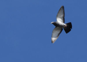 640px-Columbidae-pigeon