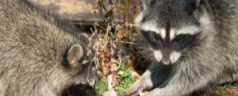Brooklyn Raccoons Target of Aerial Vaccination Program